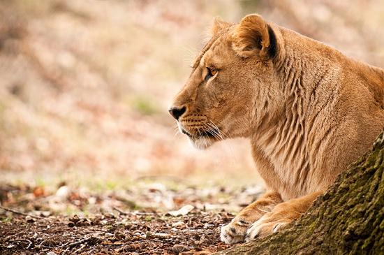 Løve (Panthera leo)