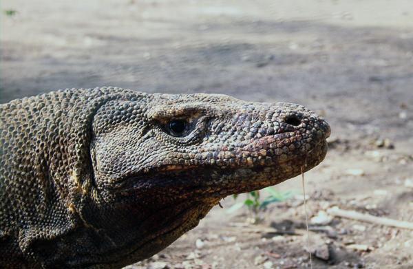 Dræby Komodo(600)