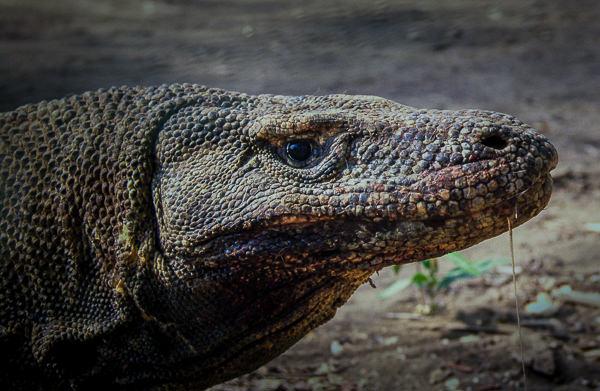 Komodo(600)