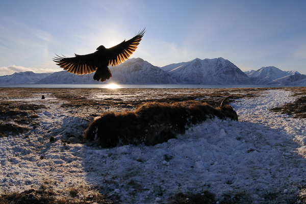 Ravens at musk ox carcass