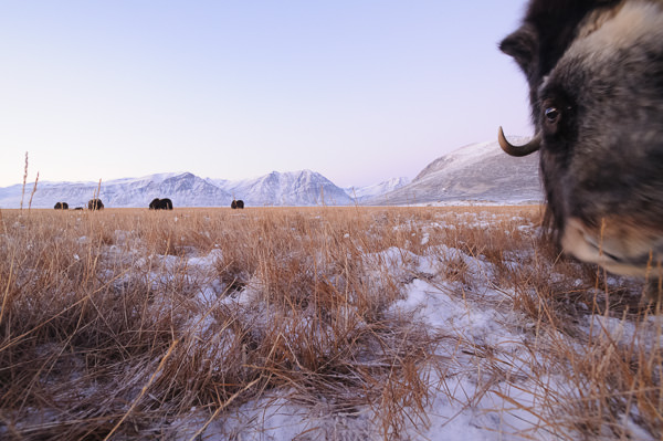 Musk oxen in the fen
