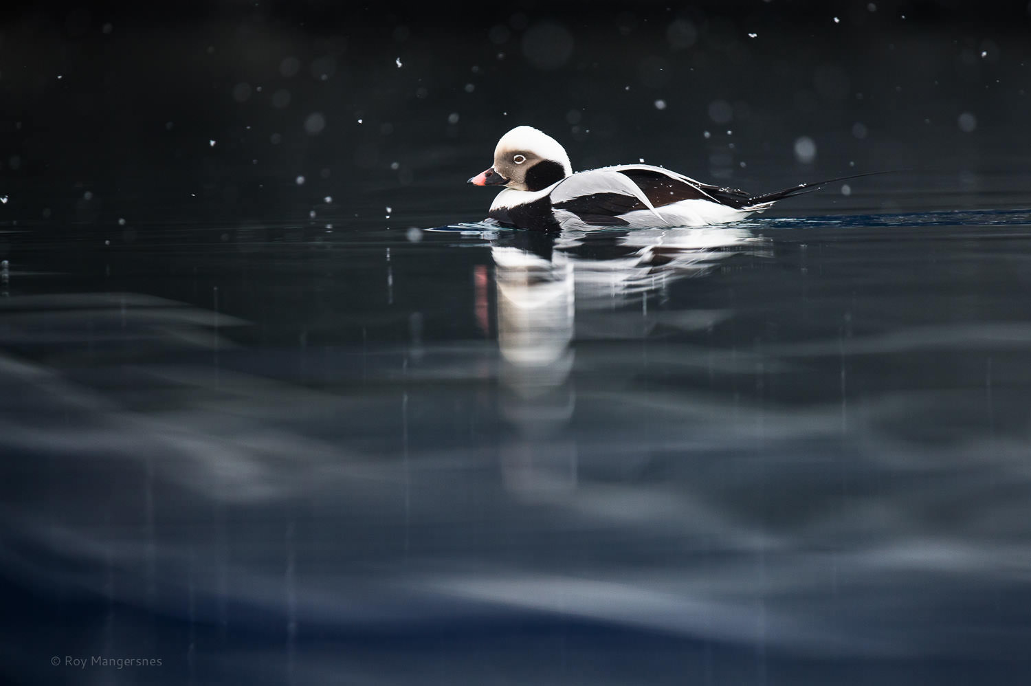 Long-tailed Duck reflection