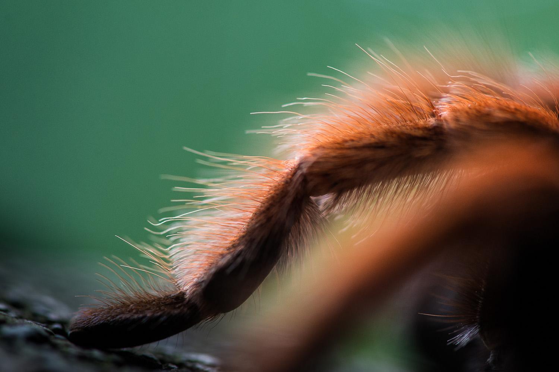 2014_maj_01_Fugleedderkop (Brachypelma emilia)-2
