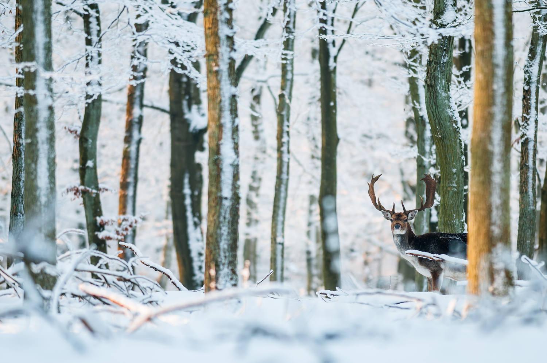 I Fladbro Skov ved Randers er en lille dyrehave med en flok af dådyr. En fin lille skov med fine motiver, og det hele gør sig glimrende dækket af sne i 10-15 graders frost. Grej: Nikon D300s + Nikkor 300 f/2.8 VR. Indstillinger: 1/250 sek., f/2.8, ISO-200.