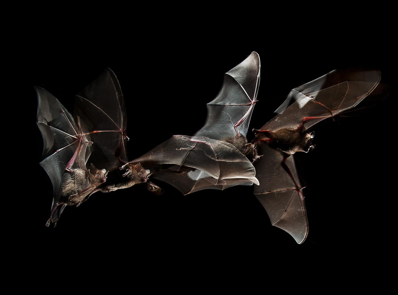 2011_februar_02_Bat shoot, Bladnæseflagermus (Carollia perspicillata)