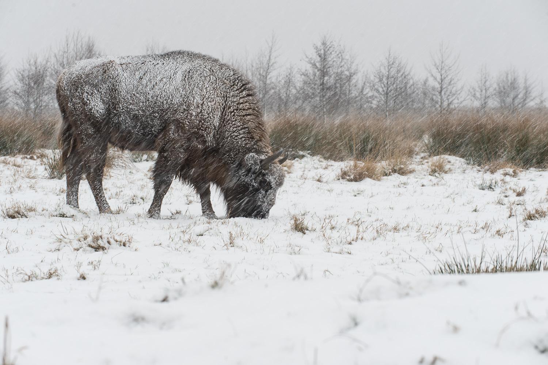 2013_januar_14_Europæisk bison (Bison bonasus)