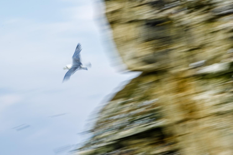 Bulbjerg i Thy, hvor riderne yngler hvert forår på Danmarks eneste fugleklippe. Grej: Nikon D3s + Nikkor 70-200 f/2.8 VRII. Indstillinger: 1/40 sek., f/14, ISO-100, 200mm.