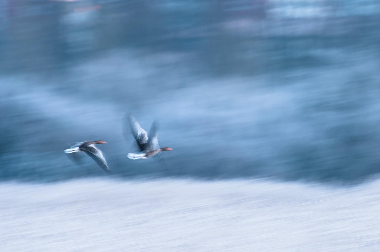 En frostblå vintermorgen før solen står op på engene ved Randers. Grågæssene, nogle af mine favoritter, får her et ganske malerisk udtryk. Grej: Nikon D300s + Nikkor 70-200 f/2.8 VRII + Nikkor TC-17E II converter. Indstillinger: 1/20 sek., f/6.3, ISO-100, 340mm.