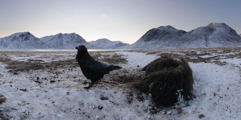 Raven at musk ox carcass