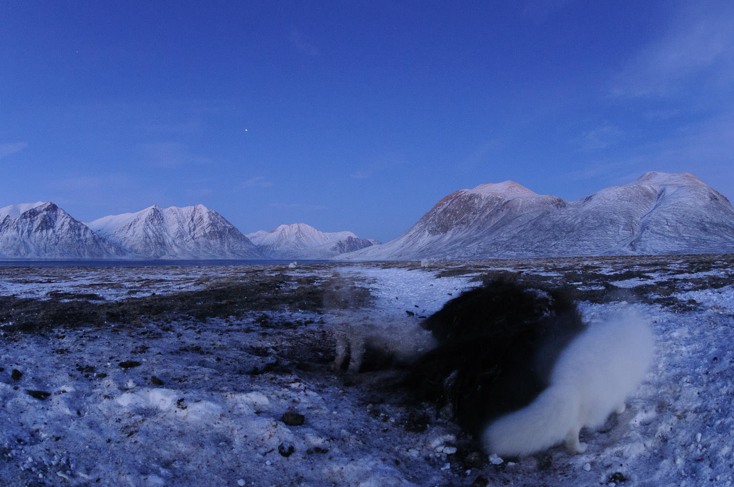Ghost foxes at the musk ox carcass..