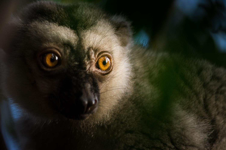 Brun lemur i morgen sol - Motiver som dette er ingenproblem for de 39 fokuspunkter (Nikon D5300 - 200mm - f 2.8 - 1/640sek - ISO 1600)