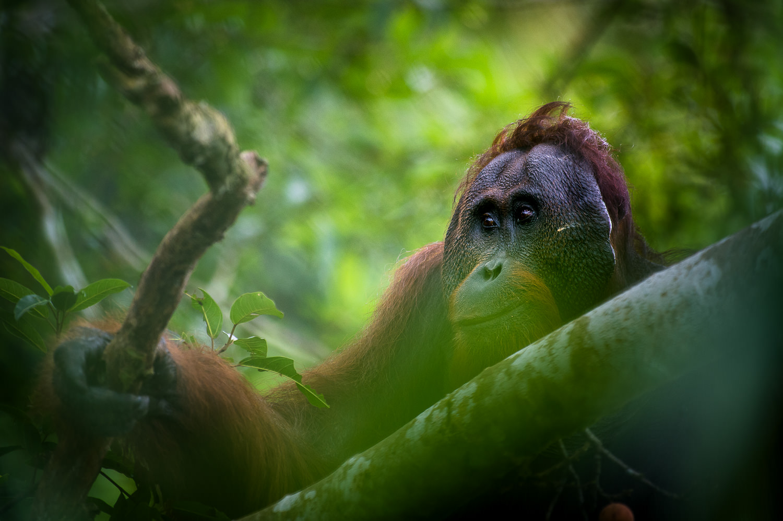 #799B30 Mest effektive Det Perfekte øjeblik Orangutang (Borneo) FotoMalia Gør Det Selv Værksted København Glentevej 6365 15009986365