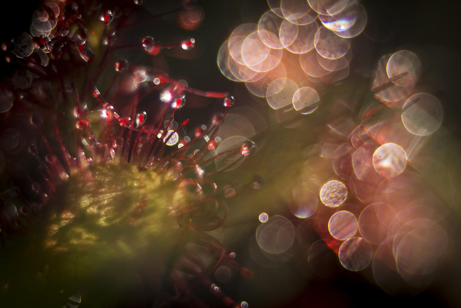 """Årets danske naturfoto 2017 (og førsteplads i kategorien """"Vækster). Fotograferet med et Olympus E-M5 MKI købt brugt for 2000kr. og et gammelt Meyer-Optik Görlitz Lydith 30 mm. objektiv. (Foto: Carsten Krog Pedersen)."""