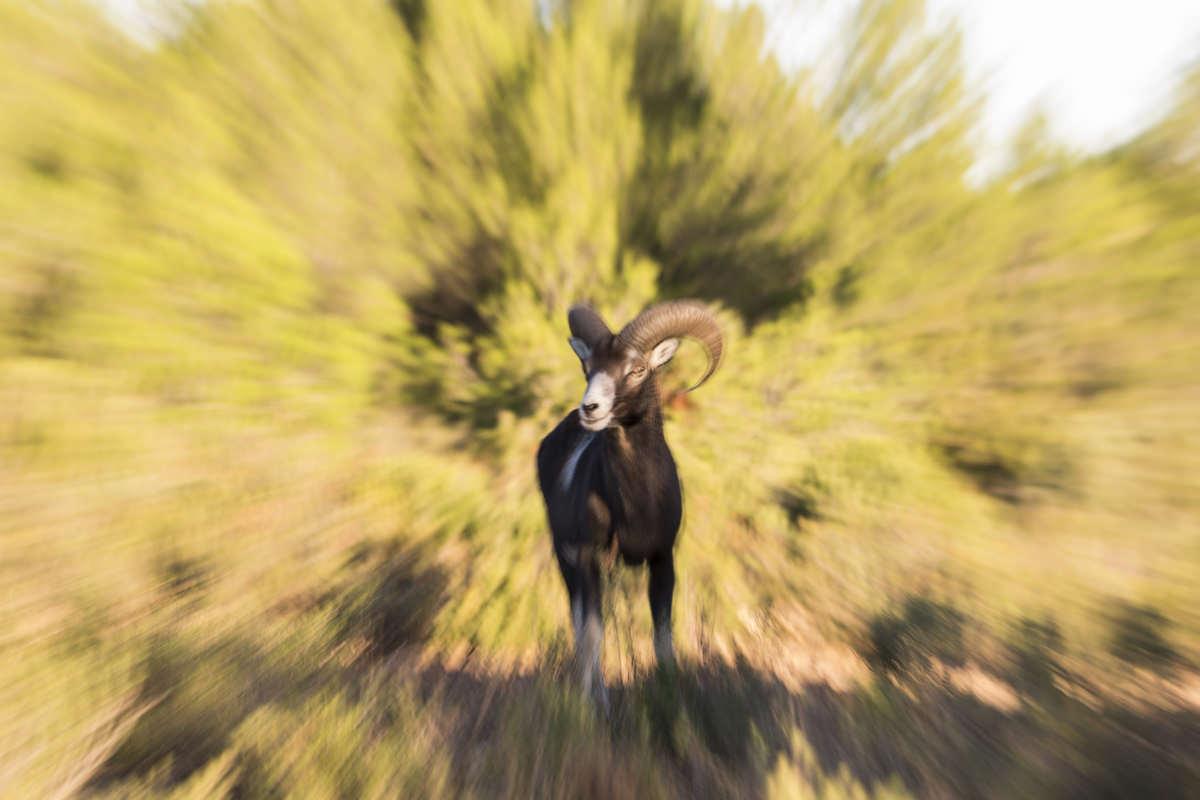 Mufloner i Spanien